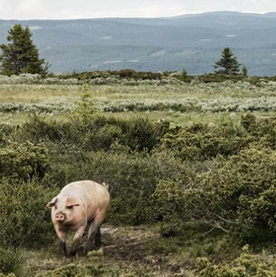FJELLGRIS FRA VALDRES Svinekjøtt