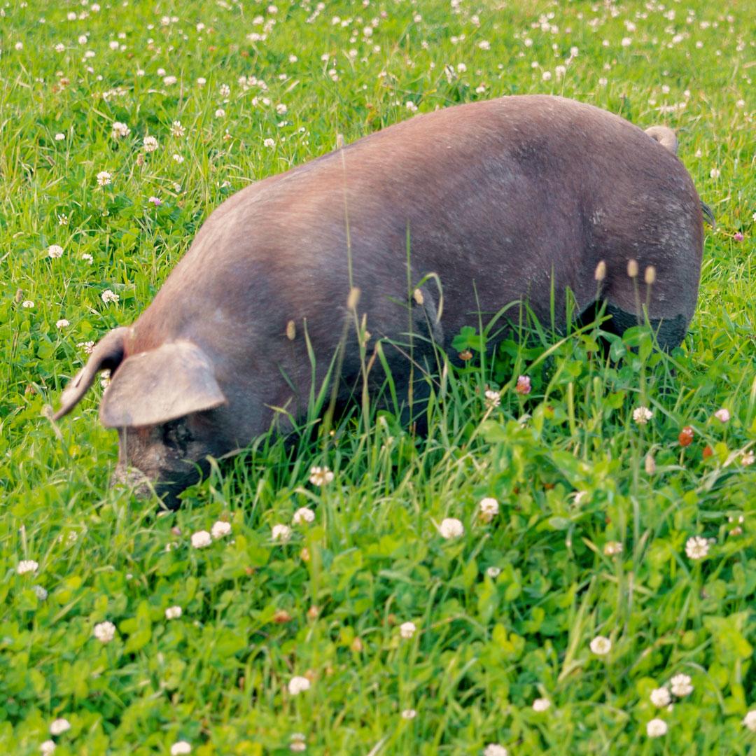 Duroc-svin fra Sande