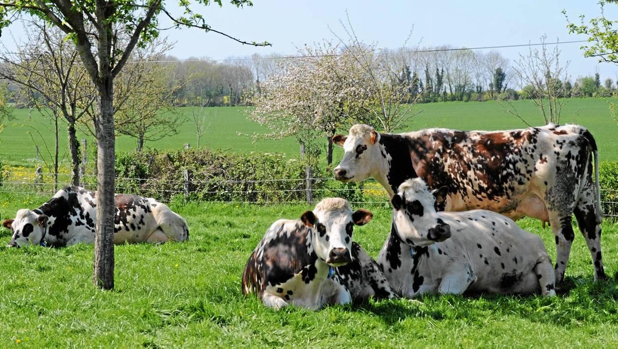 Normande, kua fra Normandie